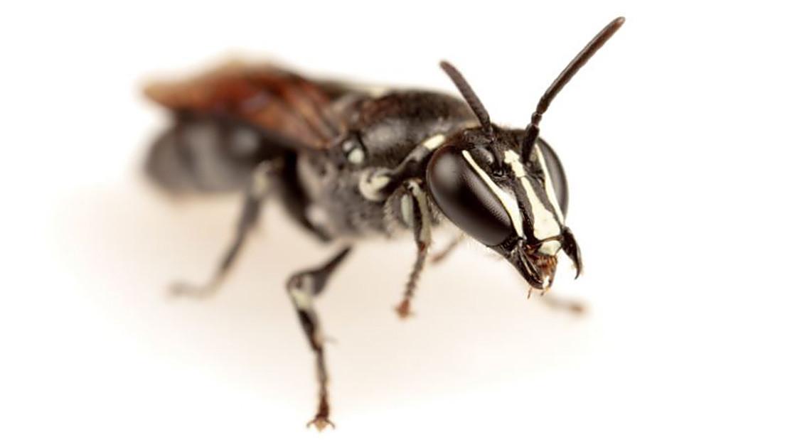 Descubren en Australia una abeja que se creía extinta desde hace casi un siglo