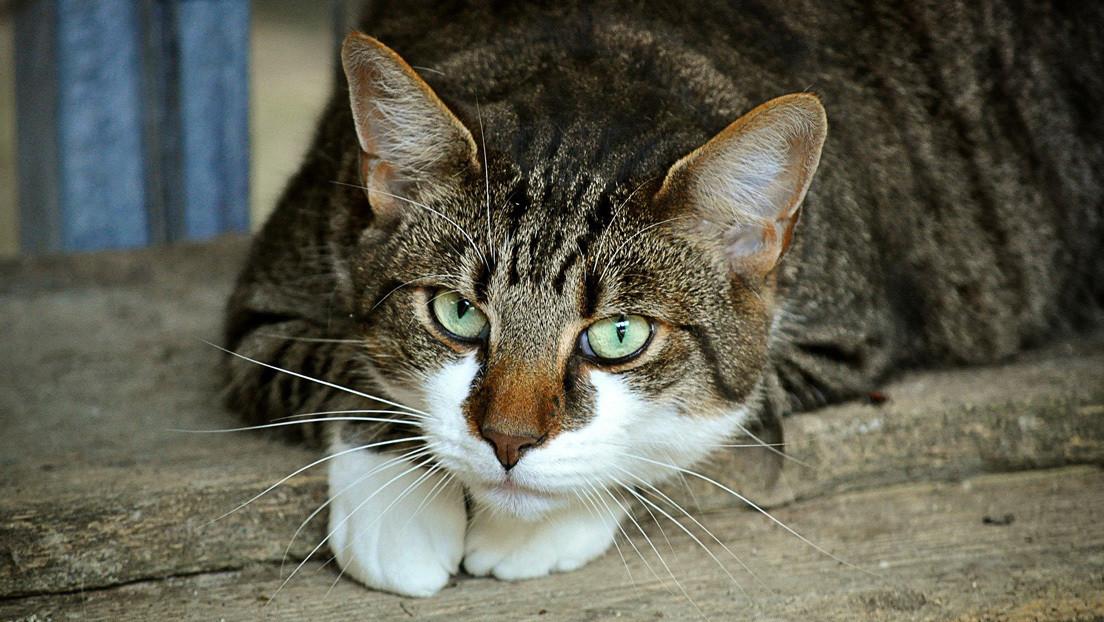 ¿El gato de Schrödinger?: Una ilusión óptica con un felino 'de cabeza flotante' desconcierta a los internautas (FOTO)