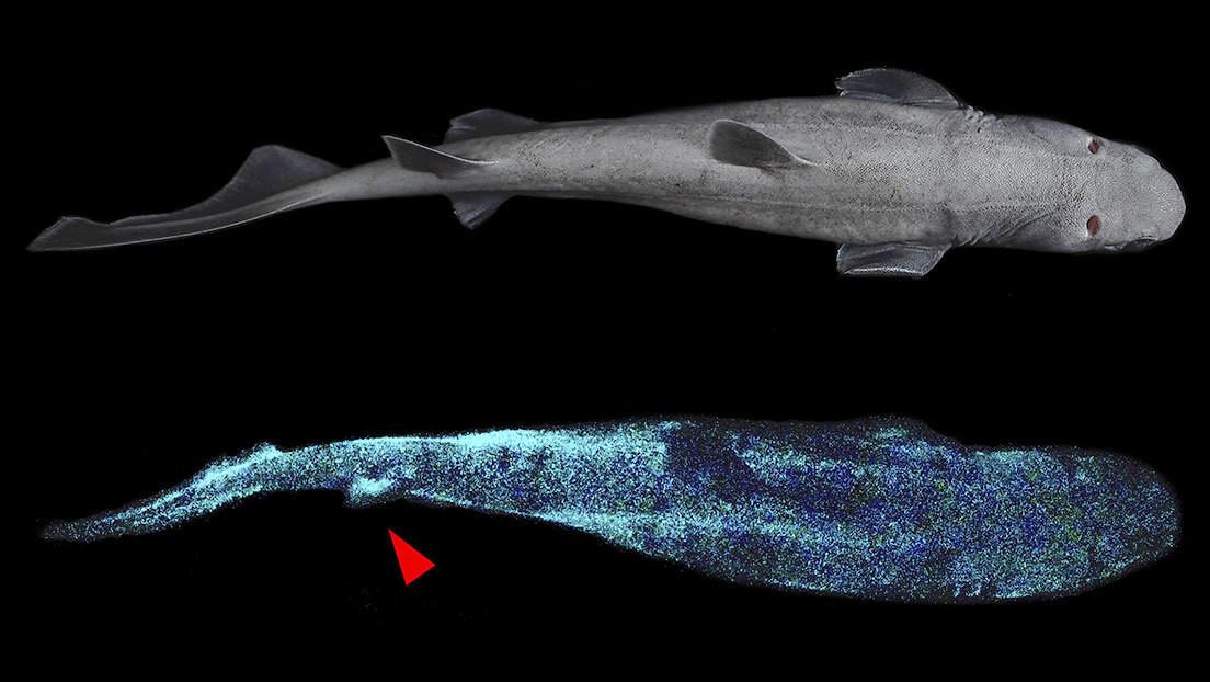 """""""Tiburón gigante luminoso"""": hallan tres tiburones de aguas profundas que brillan en la oscuridad (FOTOS)"""