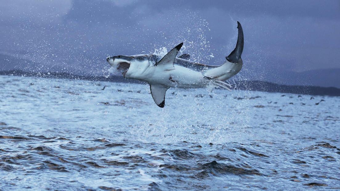 VIDEO: Un dron graba el momento en que un tiburón blanco caza una raya frente a la costa australiana