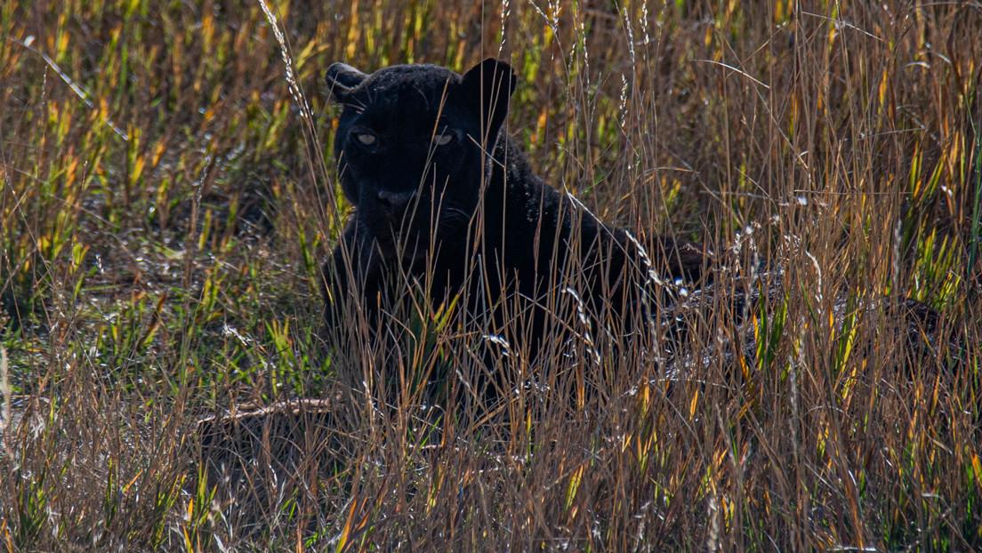 FOTOS: Un fotógrafo logra captar un extremadamente raro leopardo negro