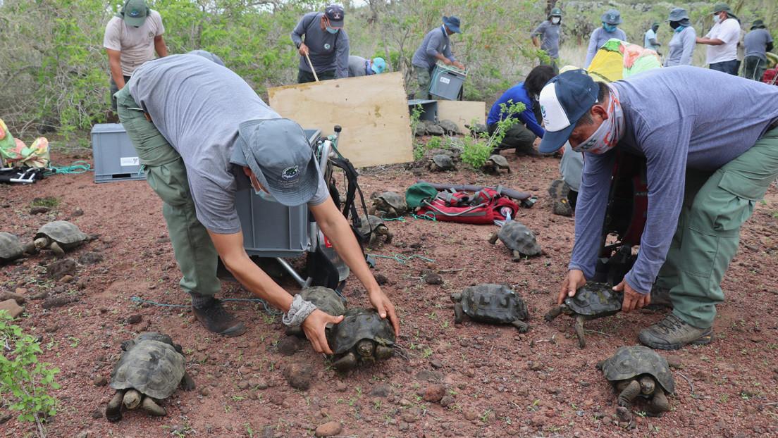 "Liberan a 191 tortugas gigantes en la isla Santa Fe de Galápagos con un proyecto de ""restauración ecológica"""
