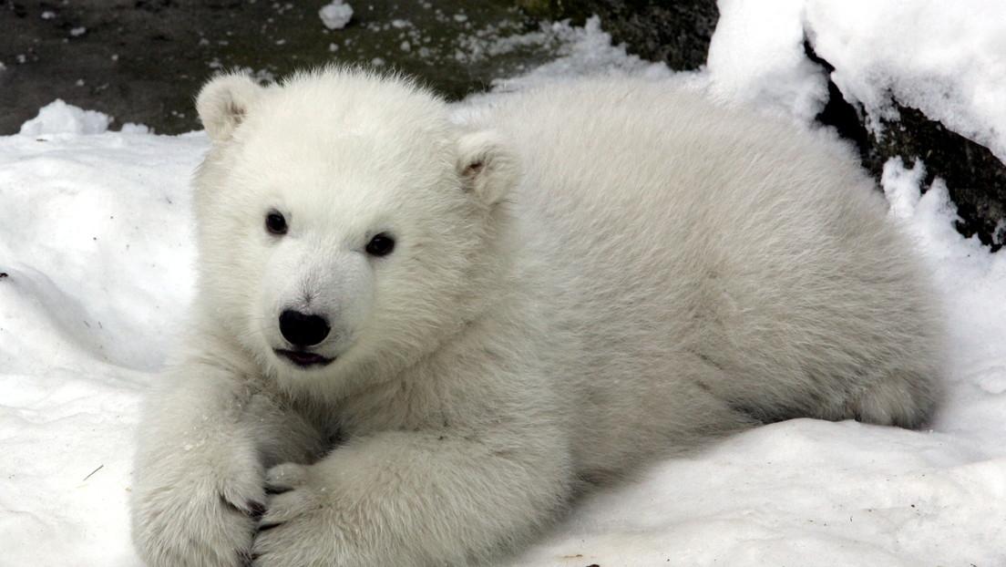 Una cachorra de oso polar de un zoológico experimenta la nieve por primera vez y conmueve a la Red (VIDEO)