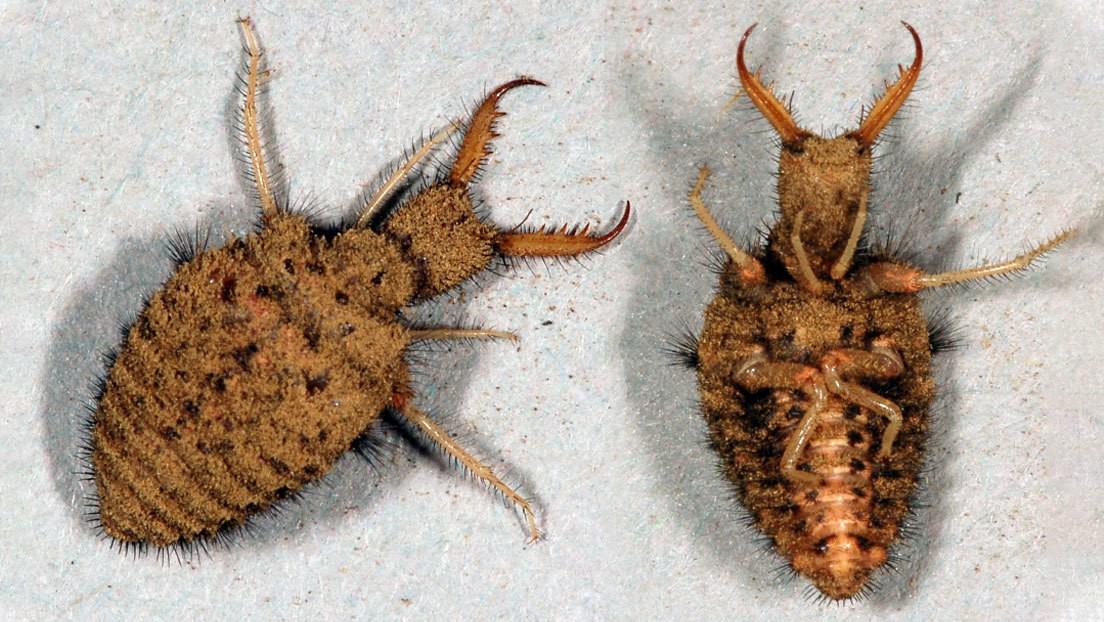 """""""Como un truco de magia"""": un insecto finge que está muerto durante más de una hora para evitar que se lo coman"""