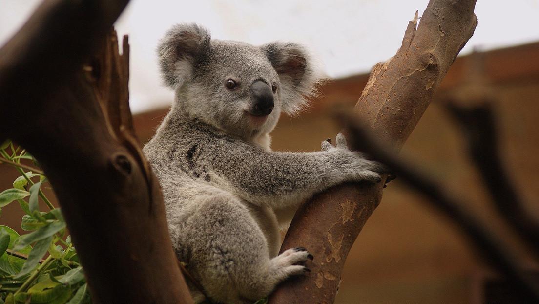 """""""Me parte el alma"""": una rescatadora de animales publica la imagen de un koala ahogado en una piscina y advierte sobre los peligros de la acción humana"""