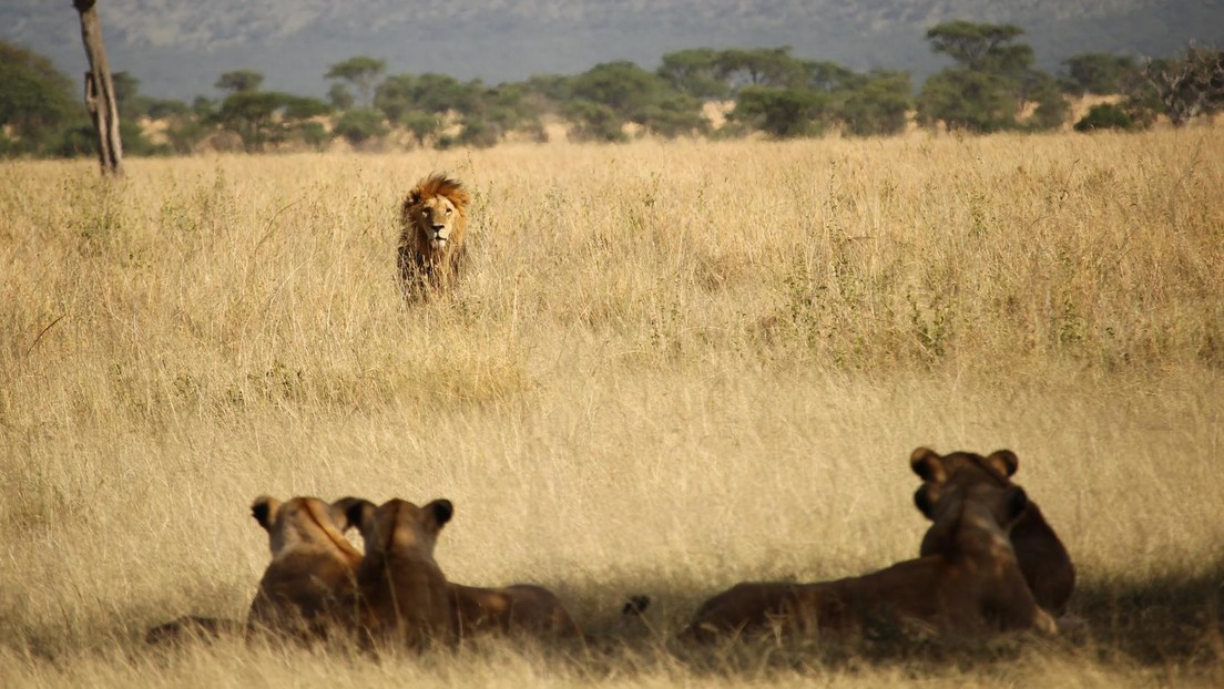 Dos leonas devoran al guía de un parque safari de Sudáfrica