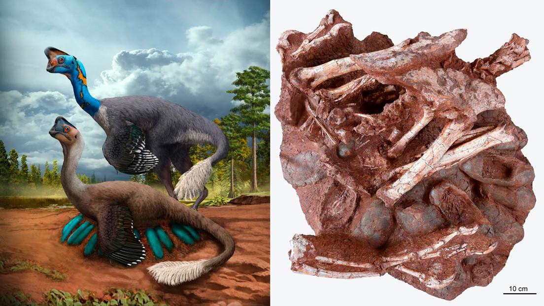 Encuentran en China los restos de un dinosaurio sentado sobre un nido incubando sus huevos