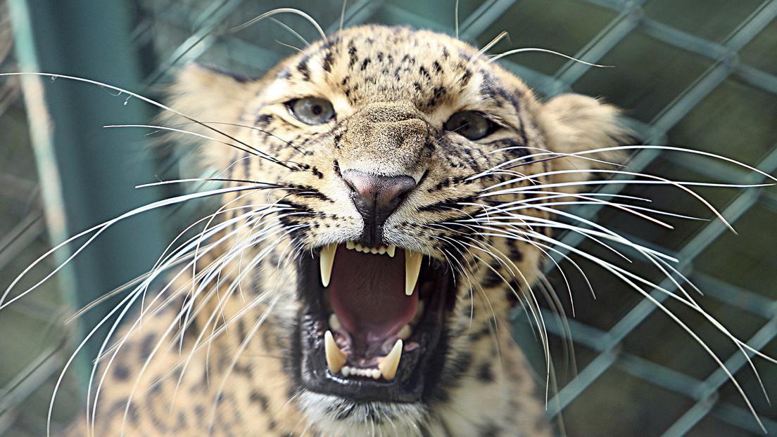 VIDEOS: Momento en el que un leopardo se abalanza sobre un rescatista después de atacar a varias personas en una casa en la India