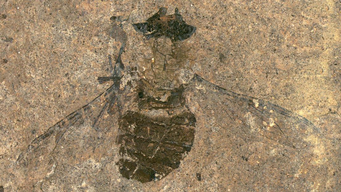 Hallan una mosca fosilizada de 47 millones de años con con la última cena en el estómago