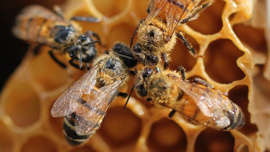 Científicos graban hábitos de las abejas nunca antes vistos dentro de una colmena