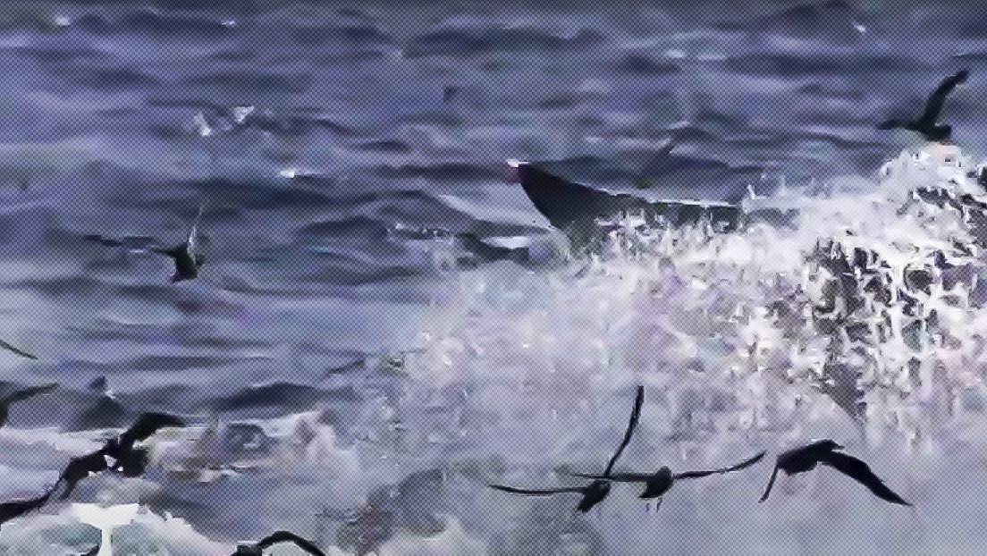 VIDEO: Decenas de orcas hambrientas despedazan al animal más grande del planeta