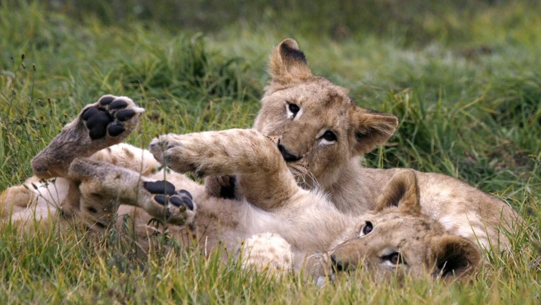 Aparecen seis leones mutilados en un parque nacional de Uganda