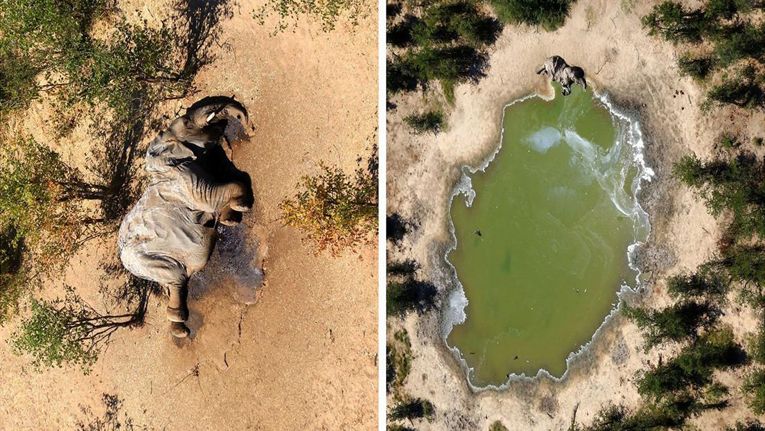 Crece el misterio sobre la causa de decenas de nuevas muertes de elefantes en Botsuana