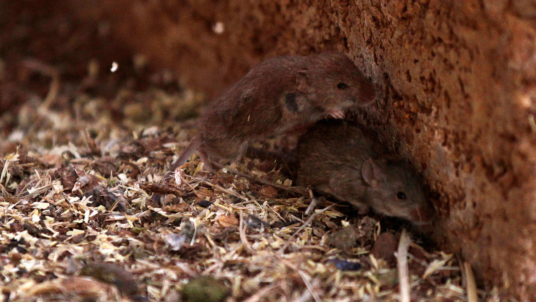 VIDEO: Incontrolable plaga de ratones asola varias áreas rurales en Australia