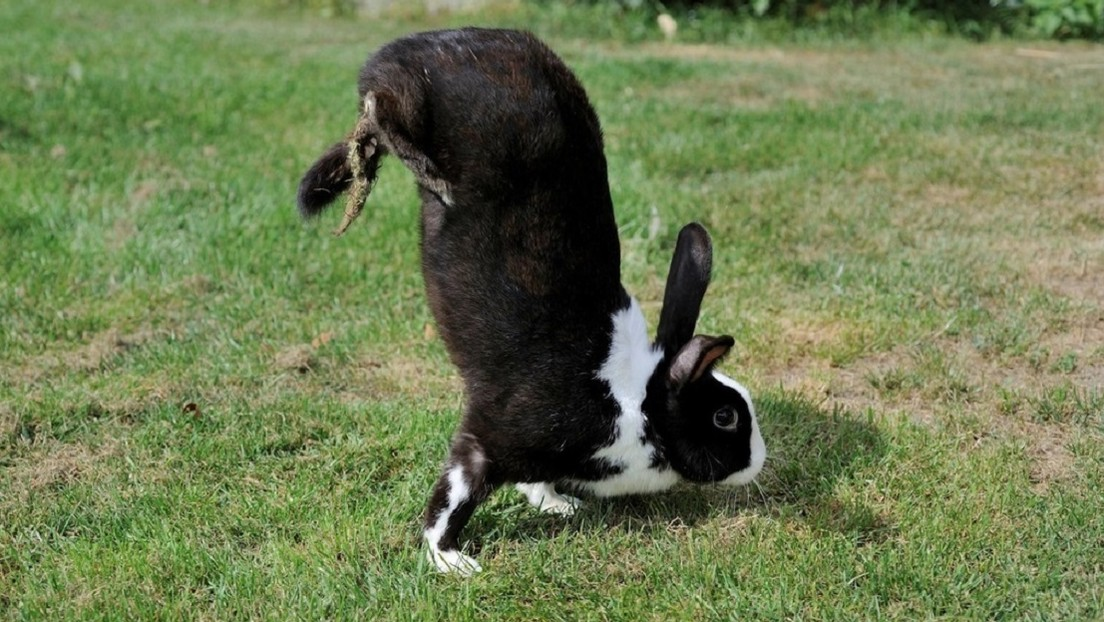 Esta raza de conejos no puede saltar y se mueve en dos patas: los científicos descubren por qué (VIDEO)