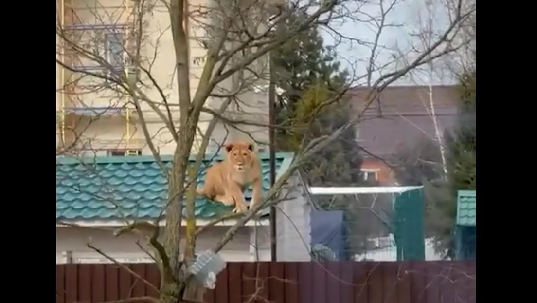 Salen a la calle y graban a una leona sobre un tejado en Rusia
