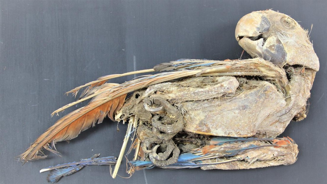Revelan que loros momificados hallados en el desierto de Atacama fueron transportados cientos de kilómetros cuando estaban vivos