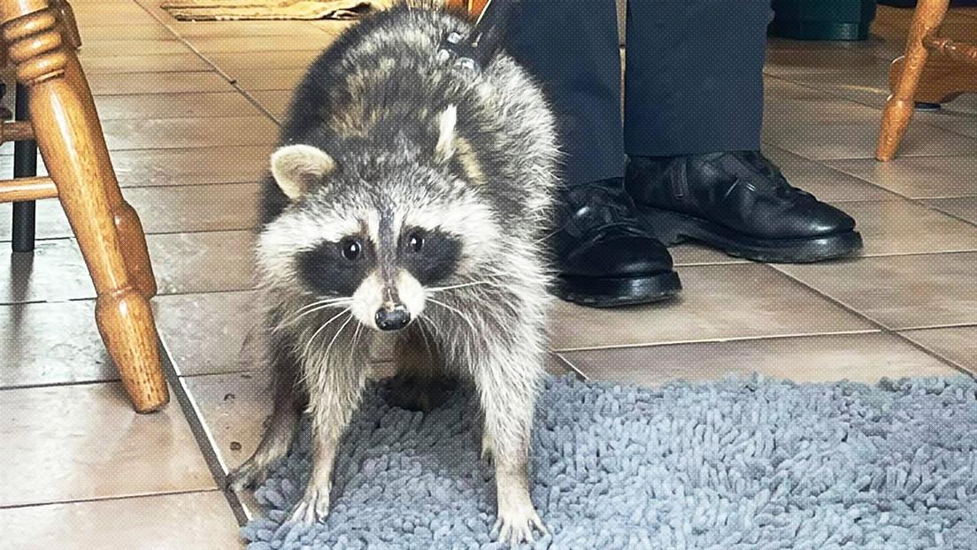 """""""Hay un mapache en mi lavavajillas"""": La Policía de Ohio 'presenta' su último caso 'de fábula' (FOTO)"""