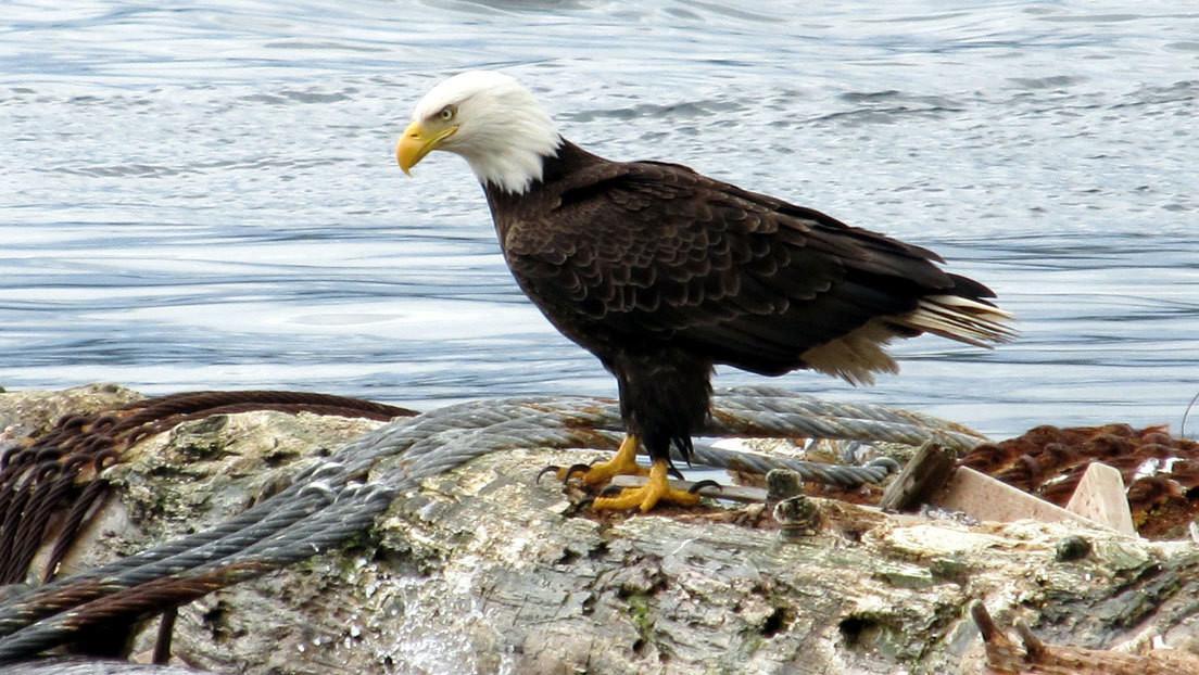 Identifican al misterioso 'asesino' de las águilas calvas, símbolo de EE.UU.