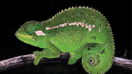 Descubren una nueva especie de camaleón endémico de las montañas centrales de Etiopía