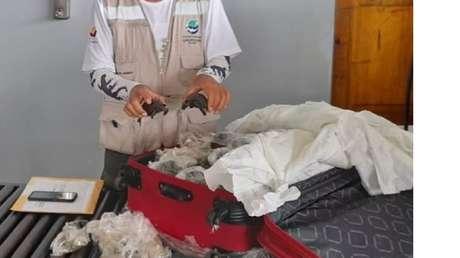 Hallan 185 crías de tortuga envueltas con plástico dentro de una maleta en un aeropuerto de Galápagos (VIDEO, FOTOS)