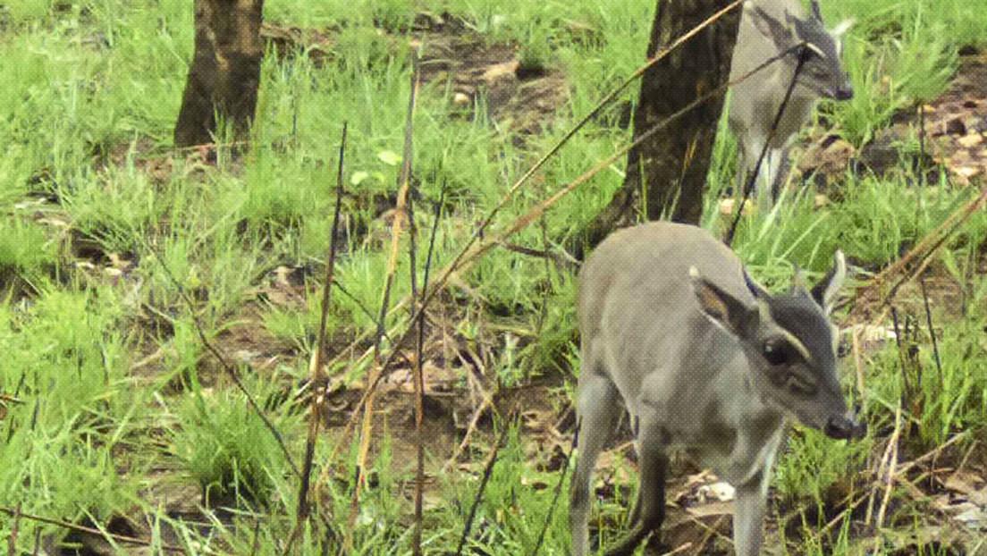 Graban por primera vez en la naturaleza a un raro antílope en África (FOTO)