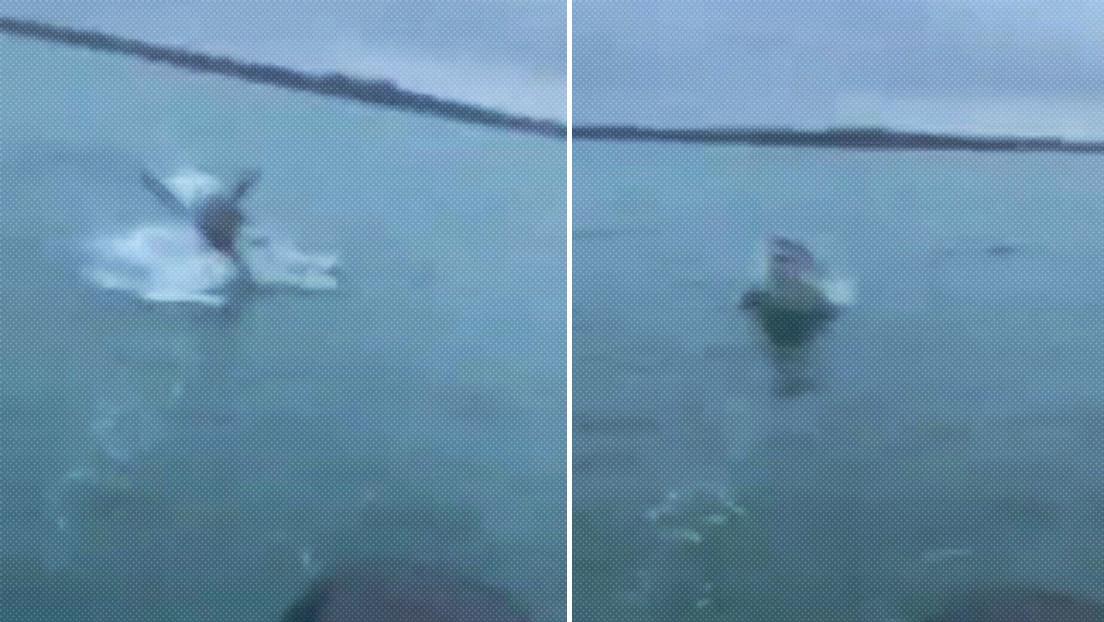 VIDEO: Un pescador logra grabar a un enorme tiburón blanco que salta del agua