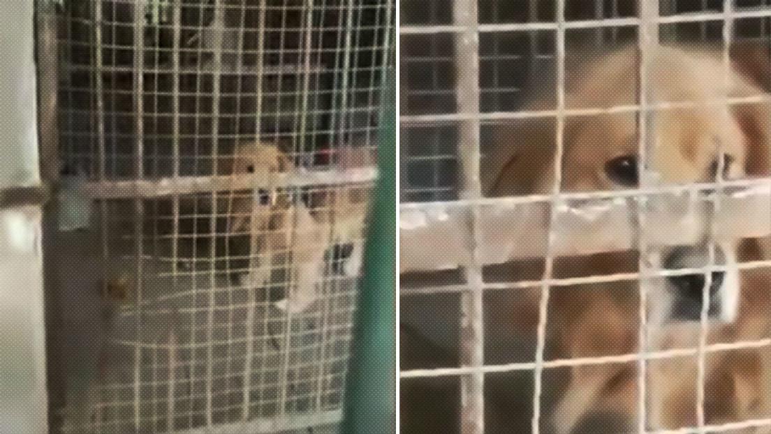 A un zoo chino le llueven críticas por hacer pasar un golden retriever por un león africano (FOTOS, VIDEO)