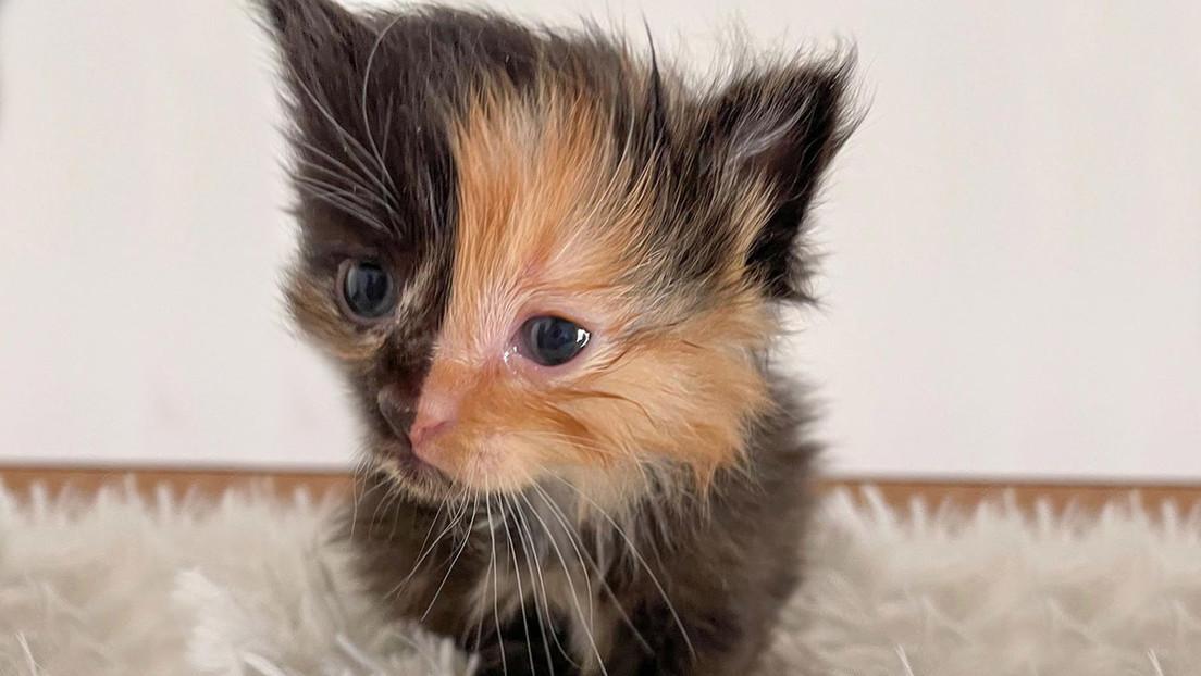Descubren una rara gatita con el rostro perfectamente dividido en dos colores mientras remodelaban su nuevo hogar (FOTOS)