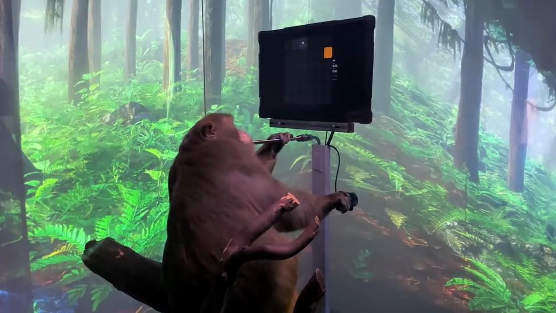 VIDEO: Una empresa de Elon Musk muestra a un mono jugando a un videojuego con la mente mediante un chip cerebral