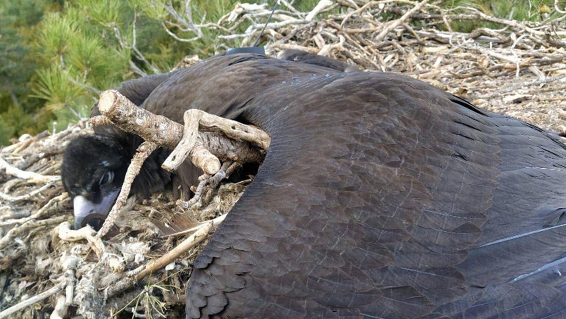 Un medicamento de uso veterinario provoca la primera muerte en Europa de una especie de buitre amenazada