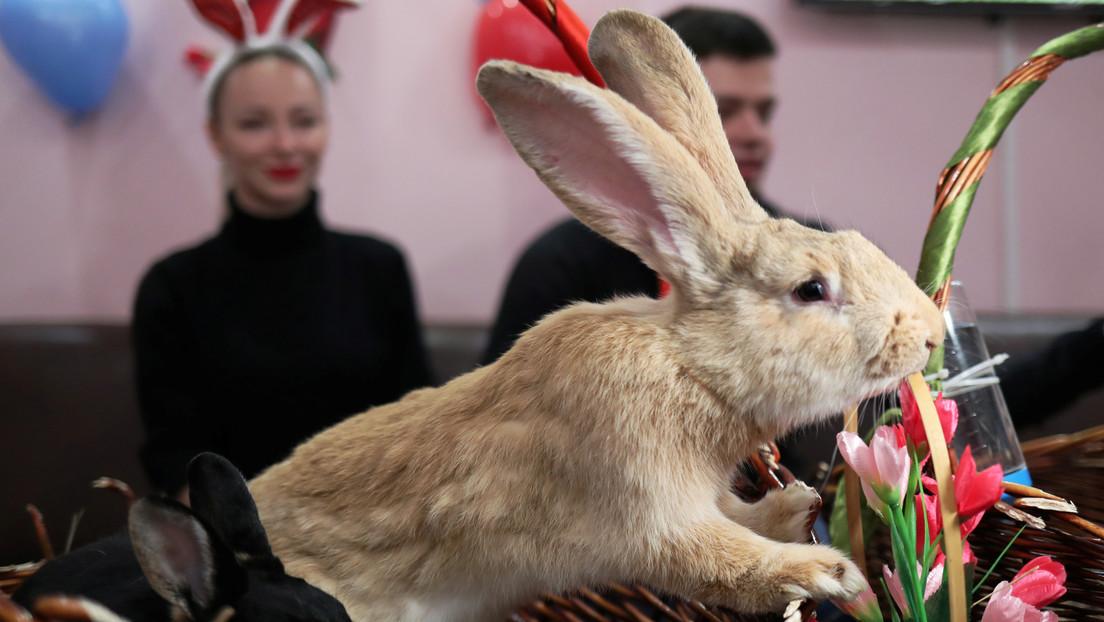 """Desaparece el """"conejo más grande del mundo"""" y su dueña ofrece una recompensa de más de 2.700 dólares"""