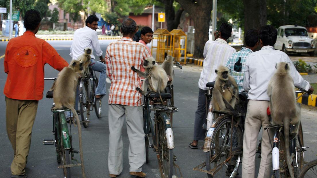 Arrestan a dos hombres en la India que usaban monos para robar a personas desprevenidas