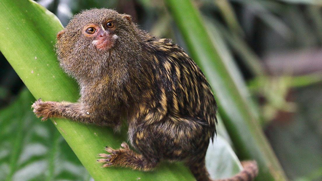 Descubren en Ecuador una nueva especie del mono leoncillo, el primate más pequeño del mundo