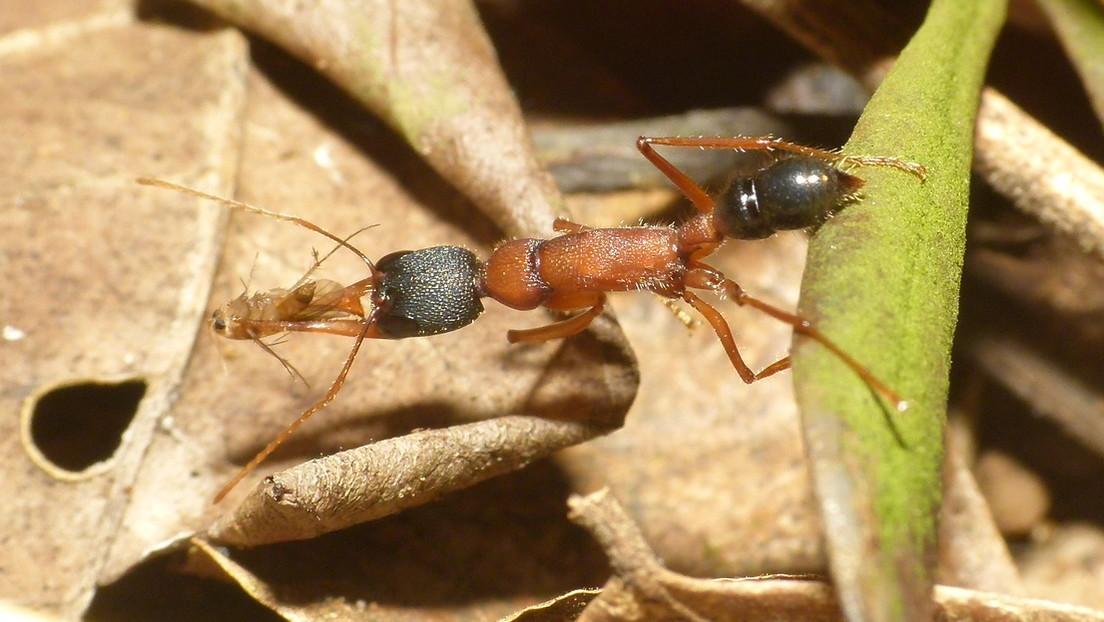 Las hormigas saltarinas de la India son los únicos insectos con capacidad de encoger su cerebro y volver a dilatarlo