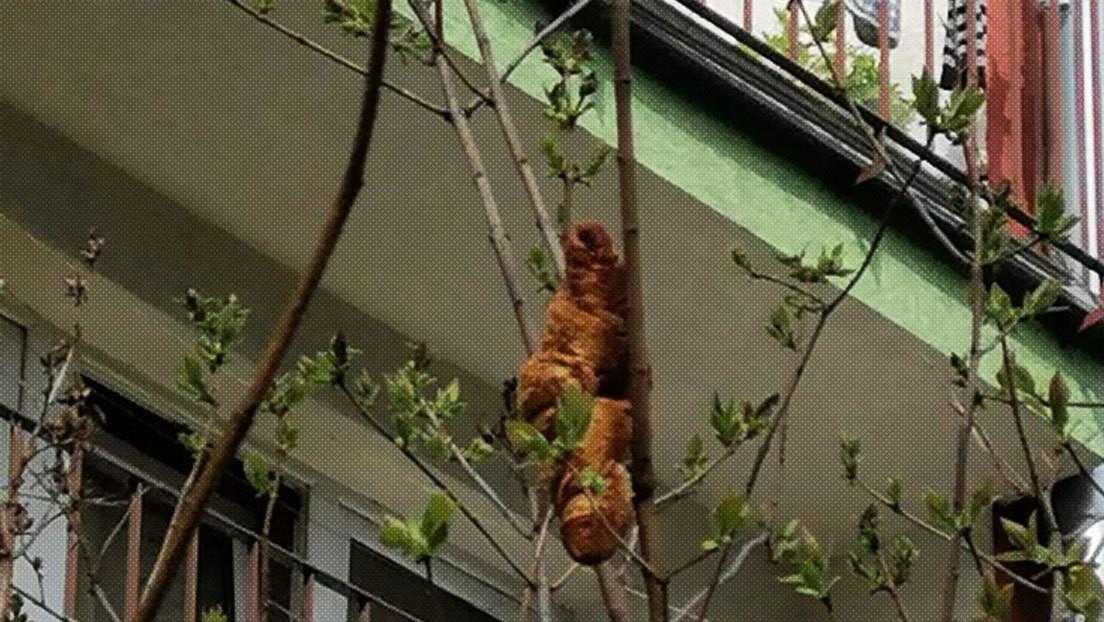 """""""Es marrón y no tiene patas ni cabeza"""": Avisan de la presencia de una rara """"criatura"""" colgada de un árbol y resulta ser un cruasán"""