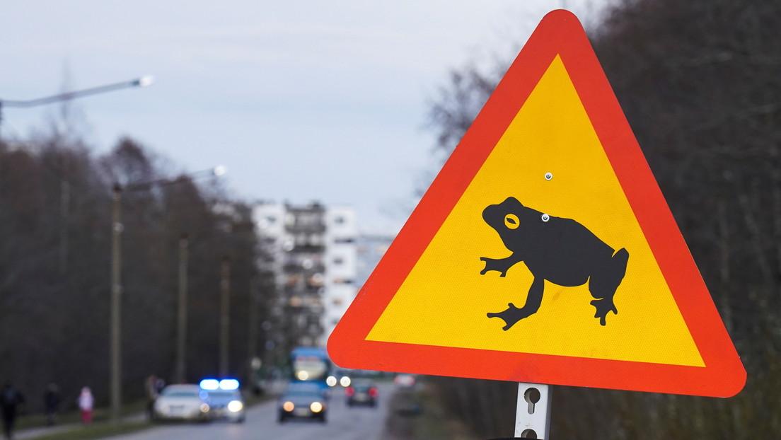 Cierran en la capital de Estonia una carretera para dar libre paso a ranas y sapos hacia sus áreas de cría