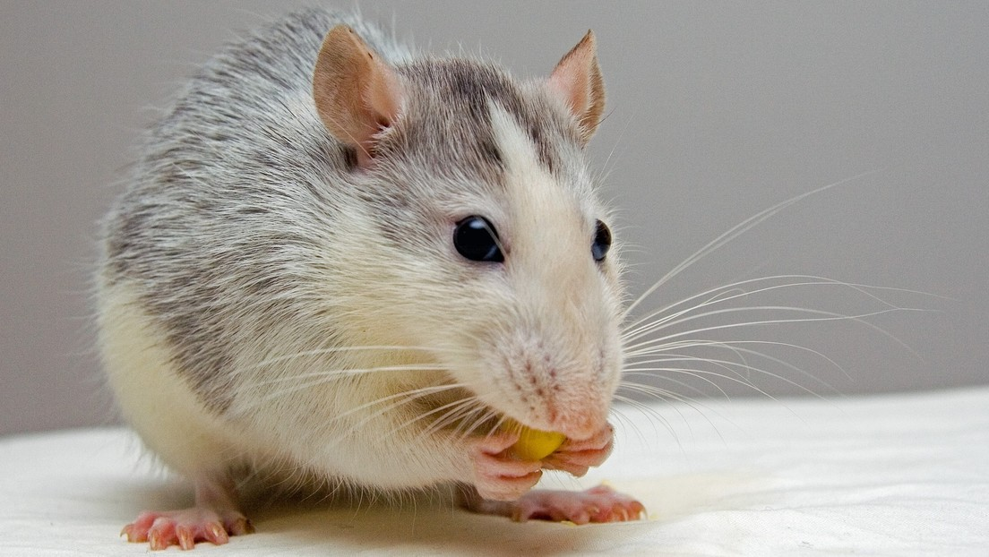 Sin dietas ni efectos adversos: Un fármaco para tratar enfermedades cardiacas en humanos combate la obesidad en ratones
