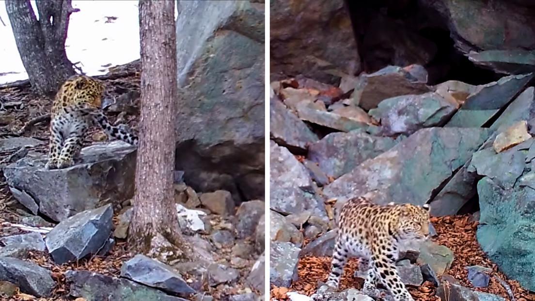 VIDEO: Captan en cámara una cita amorosa de dos leopardos en el Lejano Oriente ruso