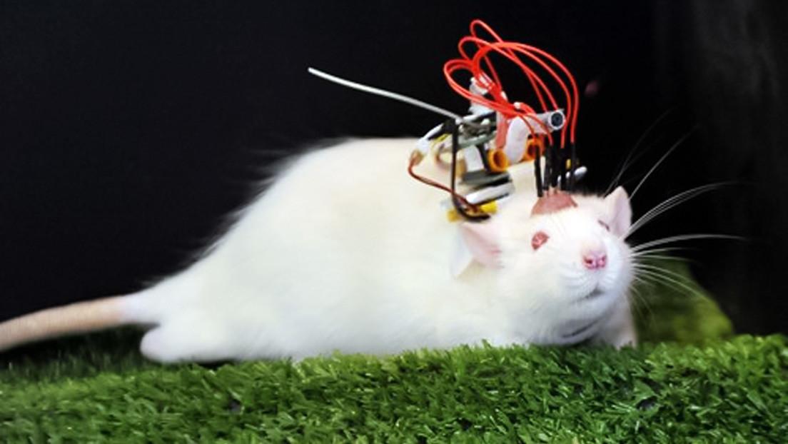 China presenta su primer chip inalámbrico de interfaz cerebro-computadora para animales que puede superar a dispositivos extranjeros similares