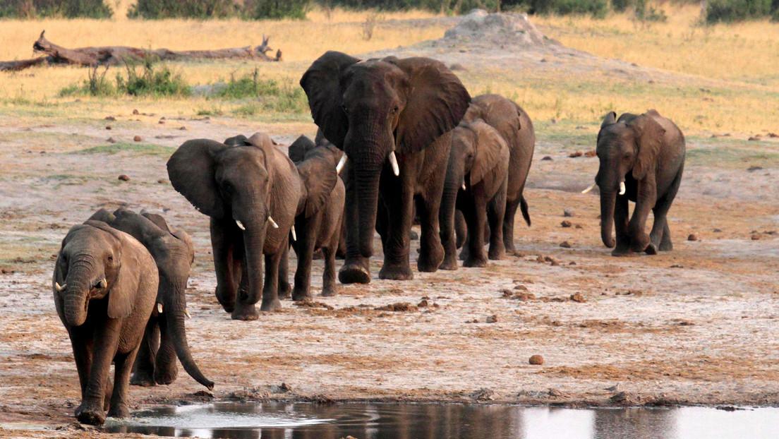 Zimbabue planea vender permisos para cazar hasta 500 elefantes en un intento de financiar sus parques naturales en medio de la pandemia