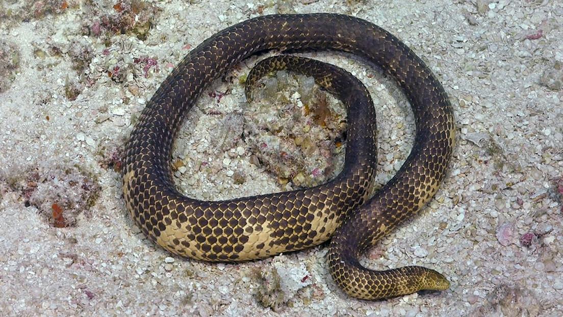 Reaparece en Australia una serpiente marina venenosa dada por extinta hace más de 20 años
