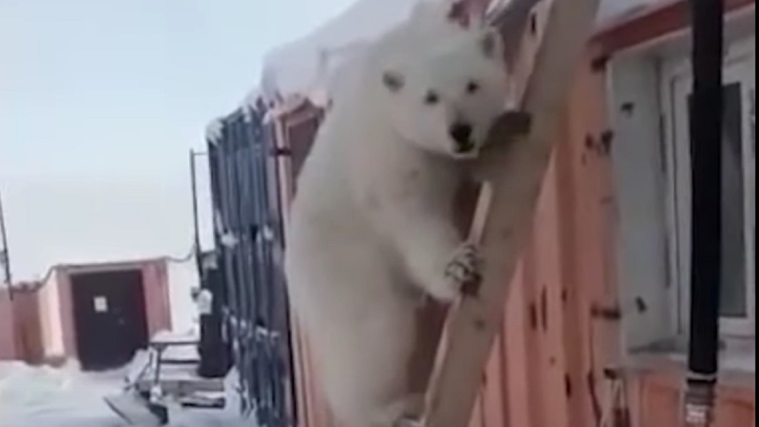 VIDEO: Mineros rusos adoptan como mascota y le salvan así la vida una osezna polar huérfana