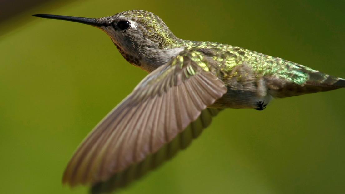Bandadas de colibríes detienen la construcción de un oleoducto en Canadá