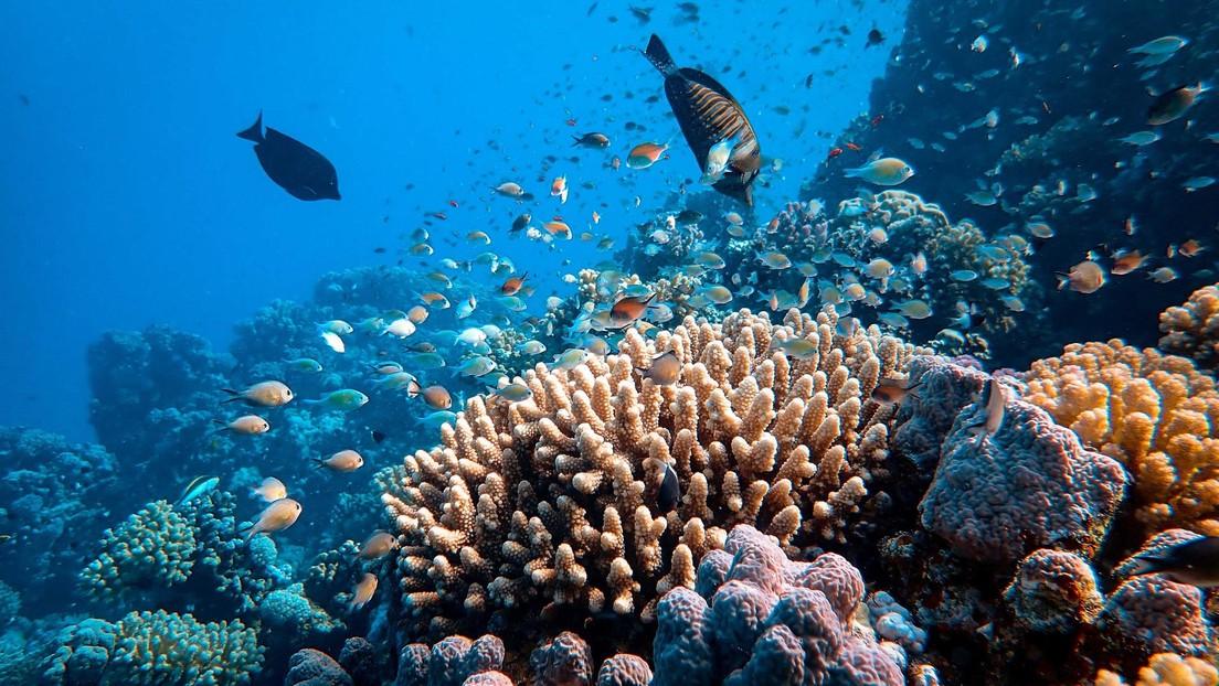 Descubren en los corales la capacidad de 'escupir' algunos microorganismos tragados (VIDEO)