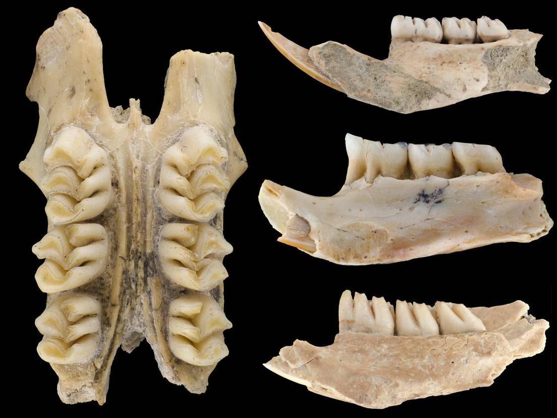 Los restos fósiles de las nuevas especies de ratas gigantes.