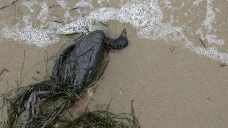 Encuentran la clave para resolver el misterio de la muerte masiva de aves marinas en 2013