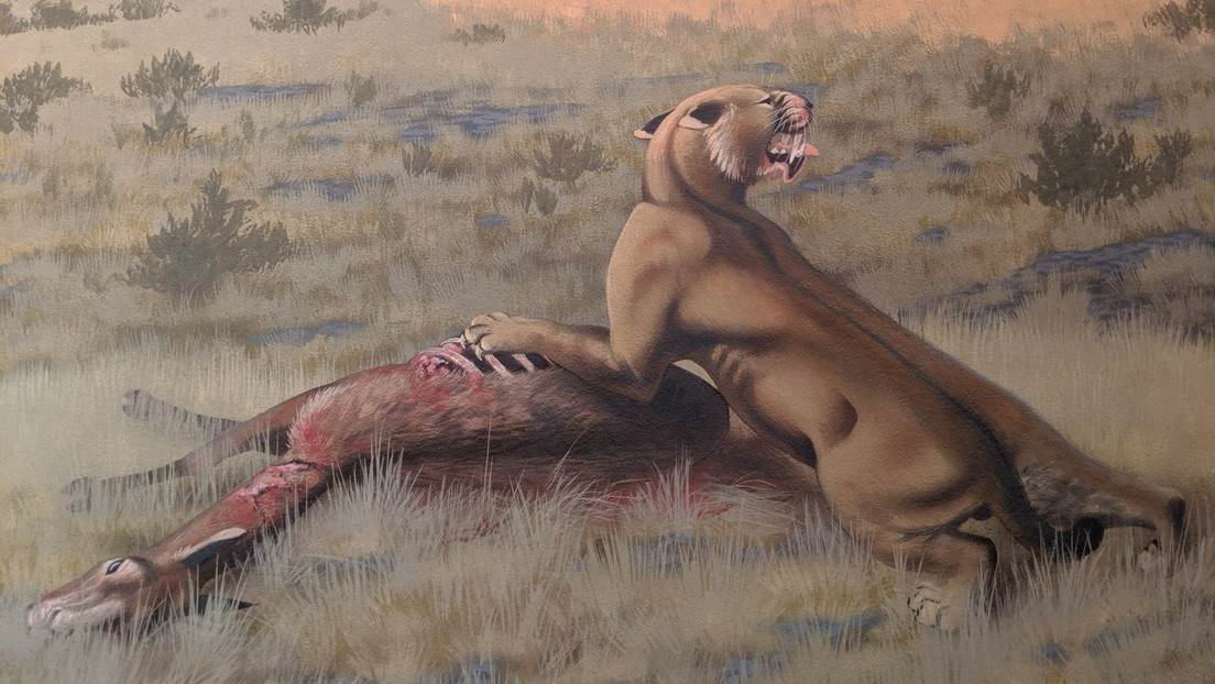 Hallan en Norteamérica uno de los felinos con dientes de sable más grandes de la historia de la Tierra