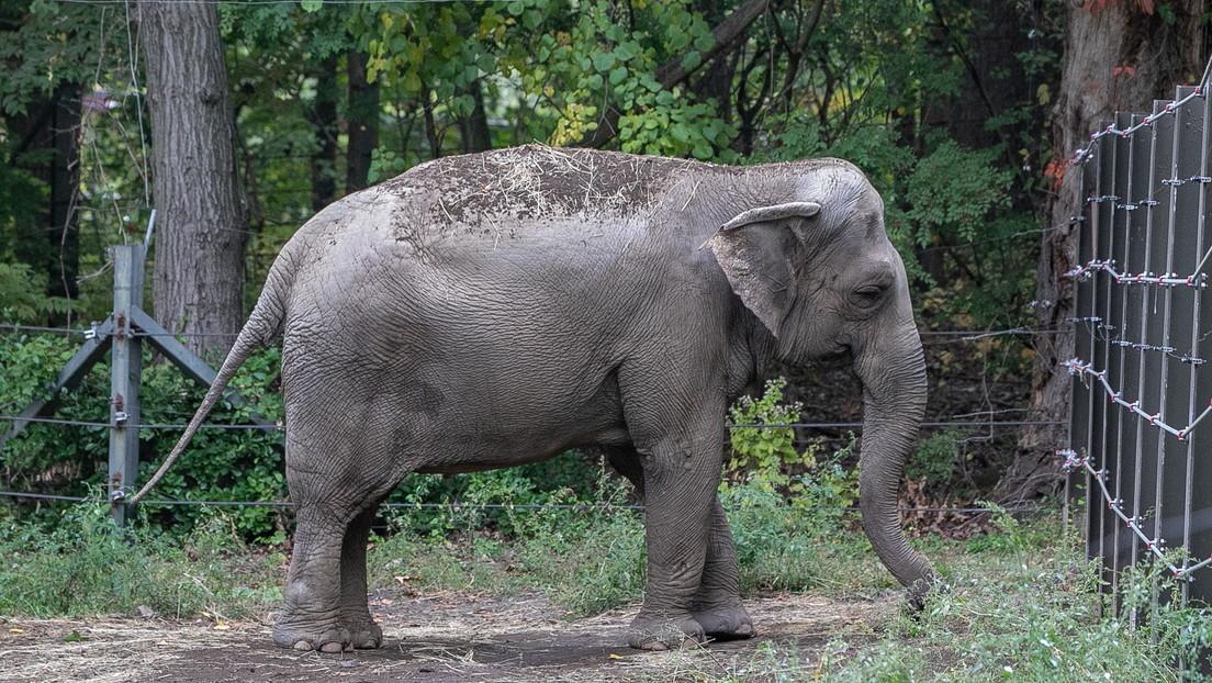 La elefanta Happy podría ser el primer animal en EE.UU. en obtener la libertad corporal reconocida legalmente