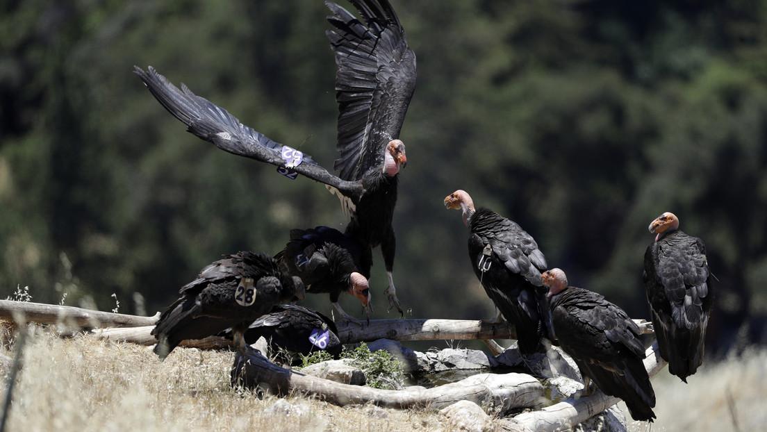 FOTOS: Una bandada de cóndores en extinción invade una casa en California, hace destrozos y se niega a irse